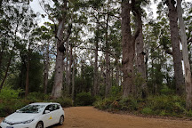 Giant Tingle Tree, Walpole, Australia