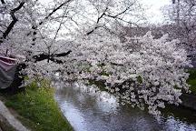 Cherry Trees along the Gojo River bank, Iwakura, Japan
