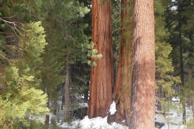 Mariposa Grove of Giant Sequoias, Yosemite National Park, United States