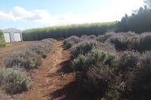 Amandine Lavender, Bargara, Australia