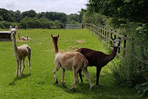 Alpaca Experience in the Cotswolds, Cirencester, United Kingdom