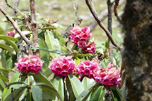 Shingba Rhododendron Sanctuary, North Sikkim, India