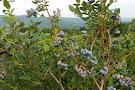 Ingalls Blueberry Hill
