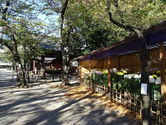 桜の標本木(東京都の開花観測するための桜