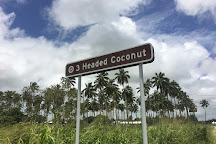 3 Headed Coconut, Tongatapu Island, Tonga