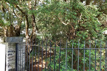 Fortingall yew tree, Fortingall, United Kingdom