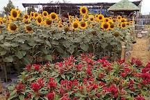 Angel's Sunflower Field, Candelaria, Philippines