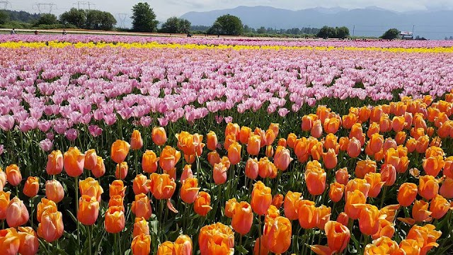 BLOOM, Abbotsford Tulip Festival