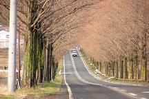 Metasequoia Namiki, Takashima, Japan
