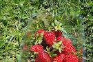 Belstack Strawberry Farm