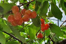 Ohashi Cherry Farm, Ashibetsu, Japan