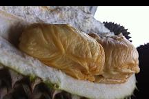 Bao Sheng Durian Farm, Balik Pulau, Malaysia
