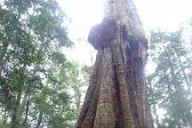 The Big Tree, Mawbanna, Australia