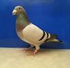 Союз любителей почтовых голубей, областная общественная организация г. Тюмень, улица Мельникайте на фото Тюмени