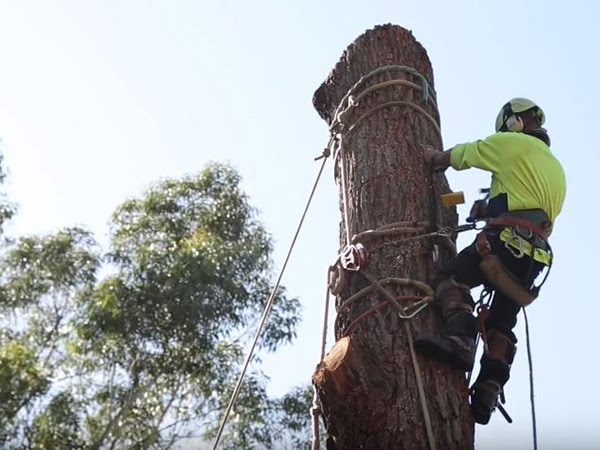 Tree removal service being completed by an arborist working at Genesis Tree Service Centreville