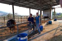 Laos Buffalo Dairy, Luang Prabang, Laos
