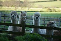 Velvet Hall Alpacas, Innerleithen, United Kingdom