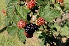 Back Road Berries