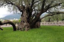 Old Olive Tree, Bar, Montenegro