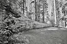 Tuolumne Grove of Giant Sequoias, Yosemite National Park, United States
