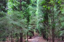 Monumento Natural de las Sequoias del Monte Cabezon,, Cabezon de la Sal, Spain