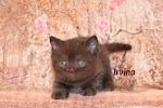Питомник британских кошек BARAMBOSS