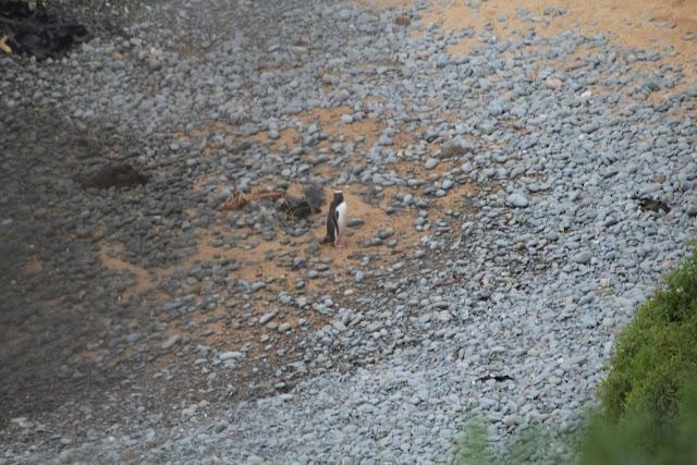 Yellow eyed penguin colony