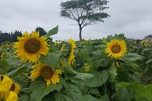 Kim Kyung-Sook Sunflower Farm, Jeju, South Korea