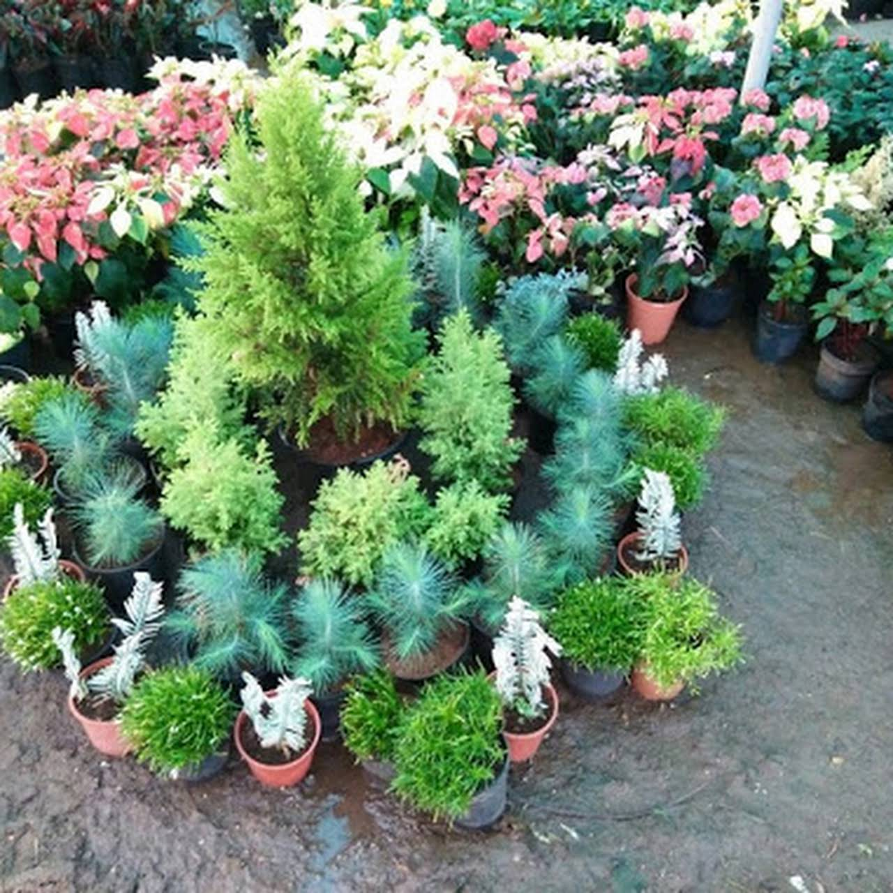 New Vrundavan Plant Nursery Wholesale Plant Nursery In Ahmedabad