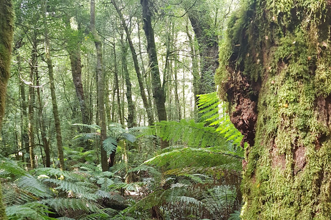 Ada Tree, Noojee, Australia
