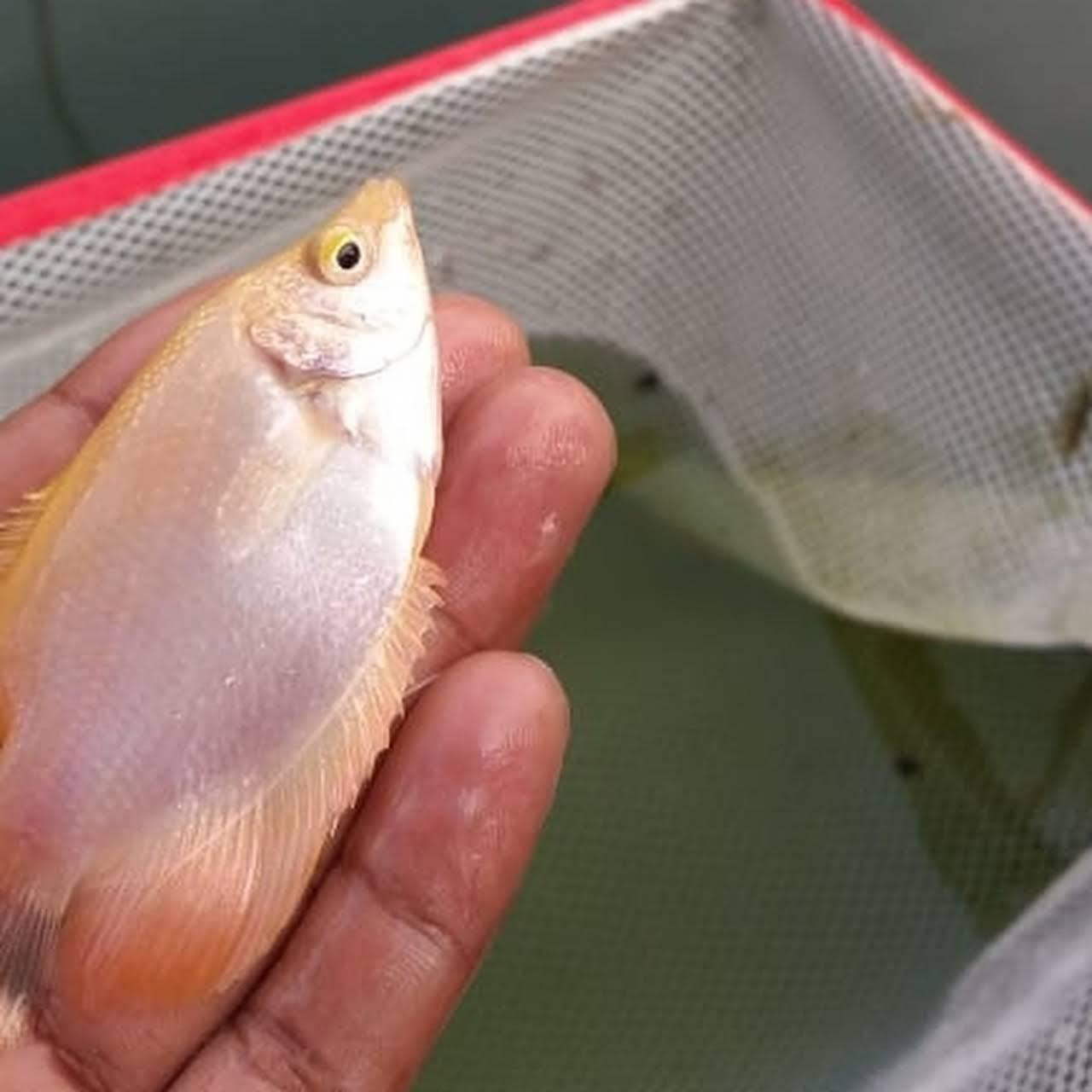 Jual Bibit Lele Gurame Mustika Pemasok Kolam Ikan