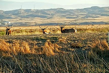 Tule Elk Reserve State Natural Reserve, Buttonwillow, United States