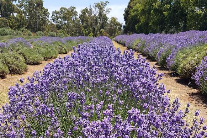 Image result for Warratina Lavender Farm