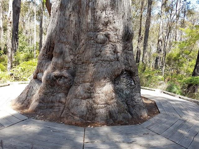 King Jarrah Tree