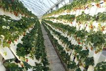 Ricardoes Tomatoes and U-Pick Strawberry Farm, Port Macquarie, Australia