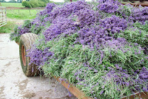 Somerset Lavender, Faulkland, United Kingdom