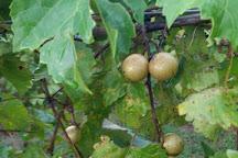 Adams Vineyards, Willow Spring, United States