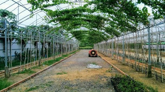 Banan Grape Farm