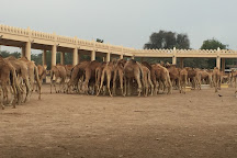 Royal Camel Farm, Manama, Bahrain