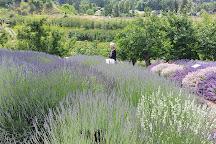 Forest Green Man Lavender, Naramata, Canada