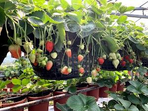 田園美色草莓園