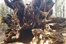 Tuolumne Grove of Giant Sequoias
