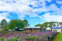 Warratina Lavender Farm, Wandin North, Australia