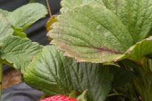 U-Pick Carlsbad Strawberry Company, Carlsbad, United States
