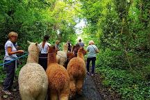 Woodland View Alpacas, Birchington, United Kingdom