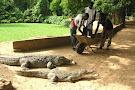 Katchikally Crocodile Pool