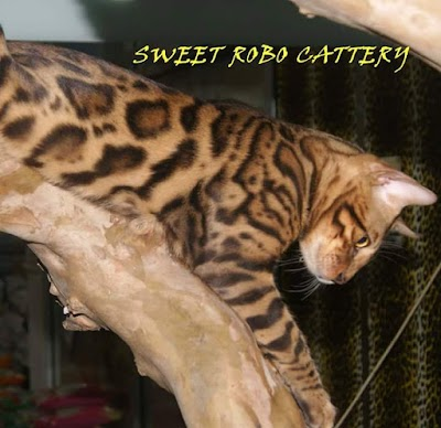 Sweet Robo Cattery