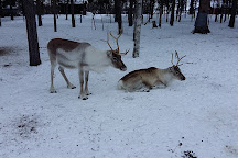 Tuula's Reindeer, Inari, Finland
