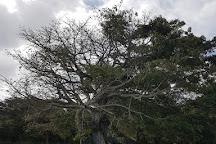La Gran Ceiba de Vieques, Isla de Vieques, Puerto Rico