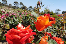 Mornington Botanical Rose Gardens, Mornington, Australia